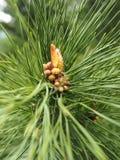Jeunes cônes de pin sur le pin Images libres de droits