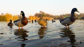 Jeunes canards dans l'eau Image stock