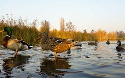 Jeunes canards dans l'eau Photographie stock libre de droits