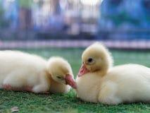 Jeunes canards jaunes mignons se caressant dans la ferme sur le fond foncé Photos libres de droits