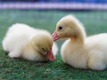 Jeunes canards jaunes mignons se caressant dans la ferme sur le fond foncé Photographie stock libre de droits