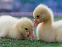 Jeunes canards jaunes mignons se caressant dans la ferme sur le fond foncé Images stock