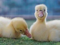 Jeunes canards jaunes mignons se caressant dans la ferme sur le fond foncé Image libre de droits