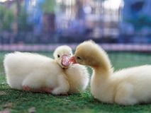 Jeunes canards jaunes mignons se caressant dans la ferme sur le fond foncé Photo libre de droits