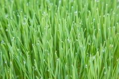 Jeunes centrales de blé Photographie stock