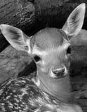 Jeunes cerfs communs Photo stock