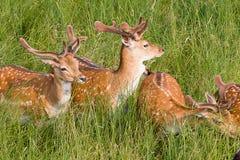 Jeunes cerfs communs Photos stock