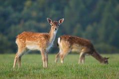 Jeunes cerfs communs affrichés Photo stock