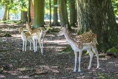 Jeunes cerfs communs affrichés Image stock