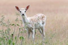 Jeunes cerfs communs affrichés dans un pré image stock