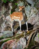 Jeunes cerfs communs affrichés Fawn Standing sur des roches Photo libre de droits