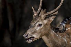 Jeunes cerfs communs avec le fond noir photo stock