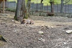 Jeunes cerfs communs bruns dans un zoo image stock