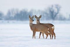 Jeunes cerfs communs d'oeufs de poisson en hiver froid agissant l'un sur l'autre Image libre de droits