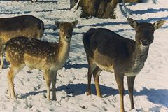 Jeunes cerfs communs dans la clôture extérieure en hiver Photo stock