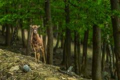 Jeunes cerfs communs dans la forêt Photo libre de droits