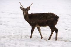 Jeunes cerfs communs dans la neige Photos libres de droits