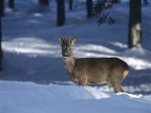 Jeunes cerfs communs dans la neige Photographie stock libre de droits