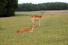 Jeunes cerfs communs dans le pré photo libre de droits