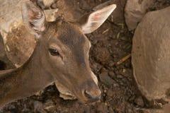Jeunes cerfs communs dans le zoo photos stock