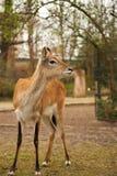 Jeunes cerfs communs dans le zoo Images libres de droits