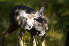 Jeunes cerfs communs dans les territoires de Yukon, Canada Photographie stock libre de droits