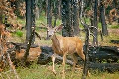 Jeunes cerfs communs dans une forêt détruite en été après le feu de forêt Photos libres de droits