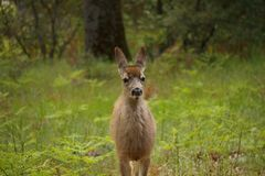 Jeunes cerfs communs de mule Photo libre de droits