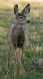 Jeunes cerfs communs de mule Photos stock