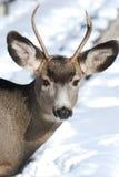 Jeunes cerfs communs de mule avec les andouillers neufs Photographie stock