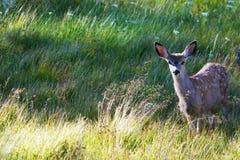 Jeunes cerfs communs de mule dans l'herbe Image libre de droits