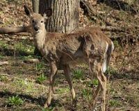 Jeunes cerfs communs de White-tail Image stock