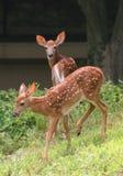 Jeunes cerfs communs de whitetail Images libres de droits