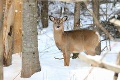 Jeunes cerfs communs en nature pendant l'hiver Photographie stock libre de droits