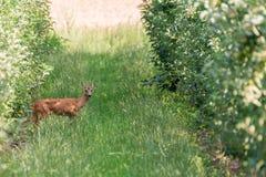 Jeunes cerfs communs entre les rangées des arbres d'un verger image stock