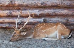 Jeunes cerfs communs masculins avec de grands, beaux klaxons se trouvant sur le sable avec la paille Images stock