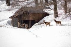 Jeunes cerfs communs près d'une récupération en hiver froid Photos libres de droits