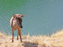 Jeunes cerfs communs près de la rivière Photos stock