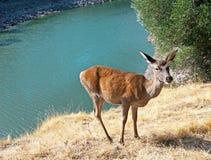 Jeunes cerfs communs près de la rivière Photo stock