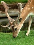 Jeunes cerfs communs rouges images stock