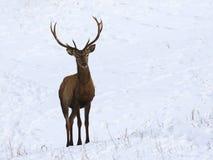 Jeunes cerfs communs rouges dans la neige Photo libre de droits
