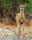 Jeunes cerfs communs simples se tenant dans la forêt Photographie stock libre de droits
