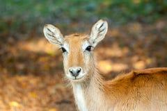 Jeunes cerfs communs sur le fond d'automne Photo libre de droits