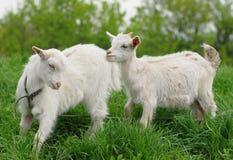 Jeunes chèvres Images stock