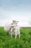 Jeunes chèvres Photos libres de droits