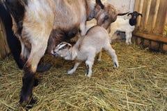 Jeunes chèvres Photographie stock