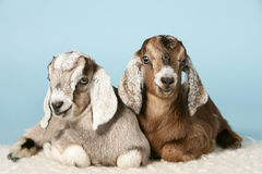 Jeunes chèvres Anglo-nubian sur des laines Photos libres de droits