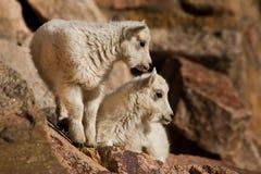 Jeunes chèvres de montagne Image stock
