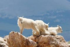 Jeunes chèvres de montagne Images stock