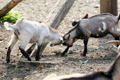 Jeunes chèvres mignonnes jouant à la ferme d'animaux photos stock